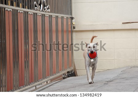 Cream Thai dog walking and carrying a red ball