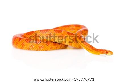 Creamsicle Corn Snake (Elaphe guttata guttata). isolated on white background - stock photo