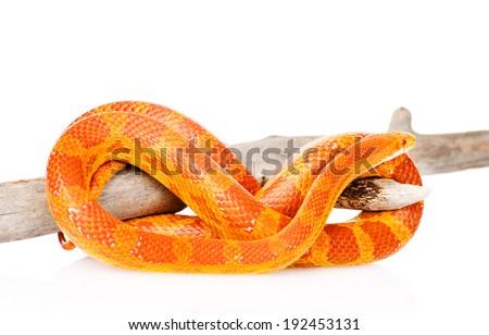 Creamsicle Corn Snake (Elaphe guttata guttata) on a dry branch. isolated on white background - stock photo