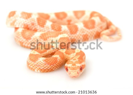 Creamsicle Corn Snake (Elaphe guttata guttata) on white background.