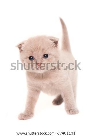 Creamy british kitten isolated on white - stock photo