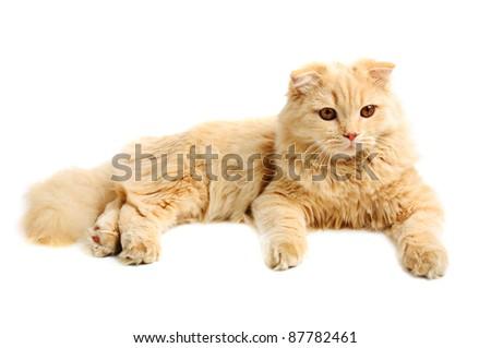 Creamy  scottish highland six monthes cat isolated on white - stock photo