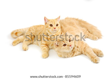 Creamy  scottish straight shorthair and highland six monthes cats isolated on white - stock photo