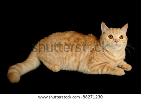 Creamy tabby scottish straight shorthair six monthes cat isolated on black - stock photo