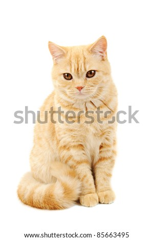 Creamy tabby scottish straight shorthair six monthes cat isolated on white - stock photo