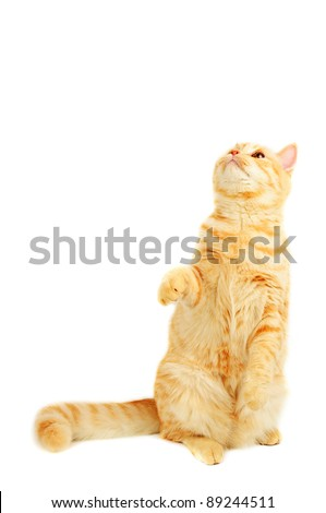 Creamy tabby scottish straight shorthair six monthes cat standing up isolated on white - stock photo