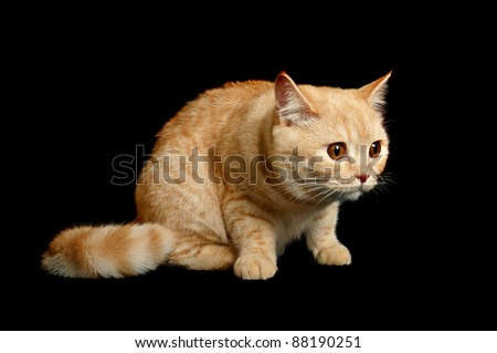 Creamy tabby scottish straight shorthair six monthes scared cat isolated on black - stock photo