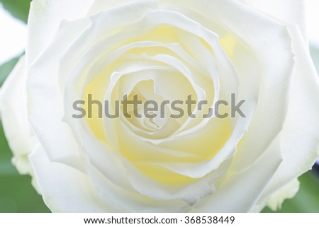 Creamy white rose, closeup - stock photo