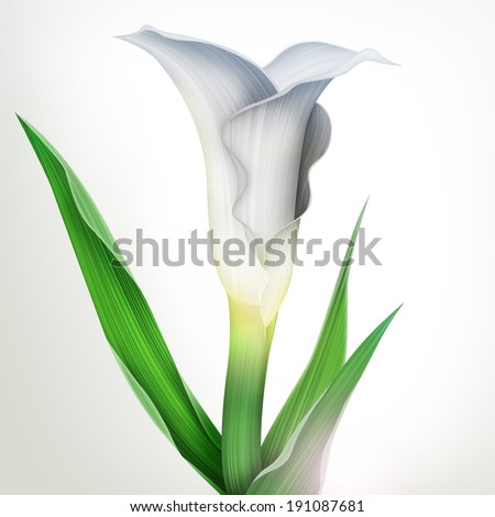 creative illustration of calla lily flower with green leaves isolated - stock photo