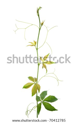 Creeper plant branch isolated on white background - stock photo