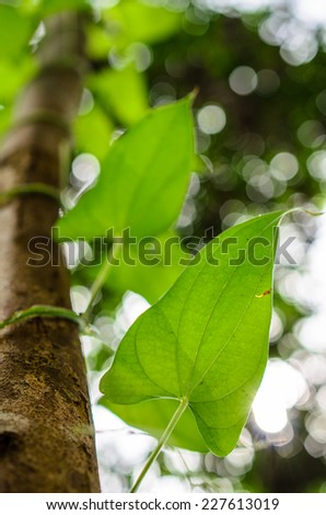 creeper plant growing around tree in the tropical forest - stock photo