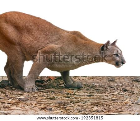 creeping cougar, predatory animal background - stock photo