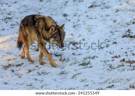 creeping Eurasian wolf  - stock photo