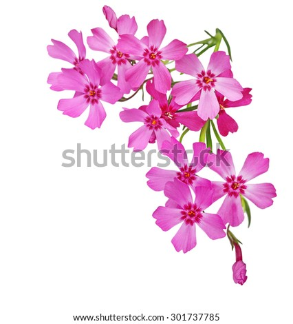 Creeping Phlox Flowers isolated on white background - stock photo