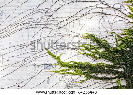 Creeping vines reaching out on a white plastered grungy looking brick wall. - stock photo