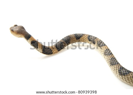 Creepy crawling brown snake with black spots on a white background