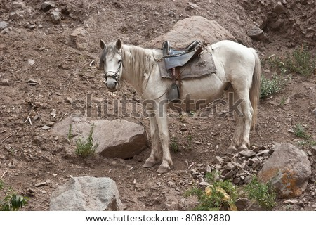 Creole horse in peruvian andes - stock photo