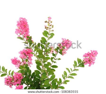 crepe myrtle flowers - stock photo