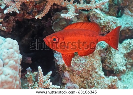 Crescent-tail Bigeye fish - stock photo