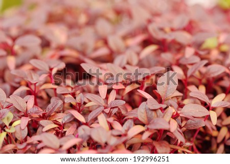 Cress varieties scarlet on artificial substrate, close-up - stock photo