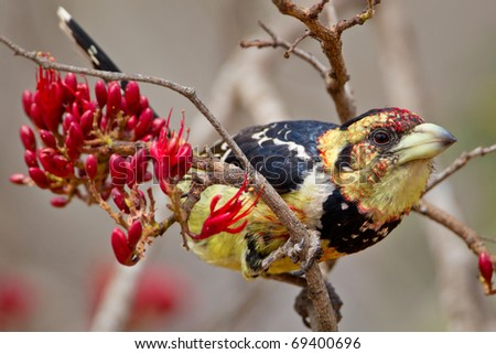 Crested Barbet, South Africa - stock photo