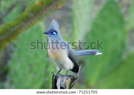 Crested Coua (Coua cristata) in the Berenty Nature Reserve, southern Madagascar - stock photo