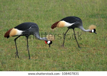 Crested / Crowned Crane - Murchison Falls National Park Safari Reserve in Uganda - The Pearl of Africa - stock photo
