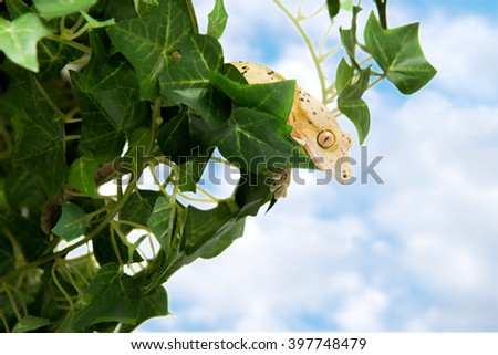 Crested gecko in some foliage with blue sky