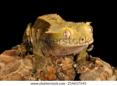 Crested Gecko (Rhacodactylus ciliatus) against a black background.