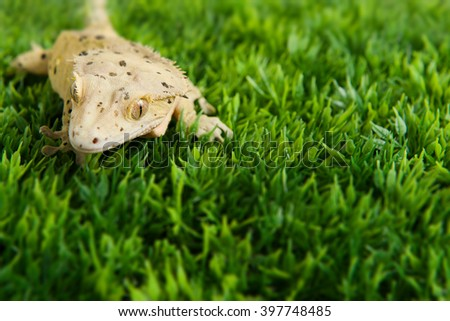 Crested gecko standing on some fake grass - stock photo