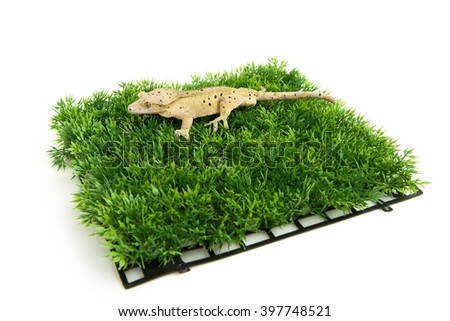 Crested gecko standing on some fake grass, isolated on white - stock photo