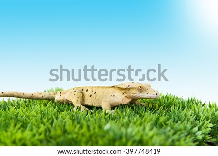 Crested gecko standing on some grass with blue sky - stock photo