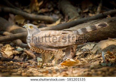 Crested Goshawk (Accipiter trivirgatus) come down to drink the water in nature - stock photo