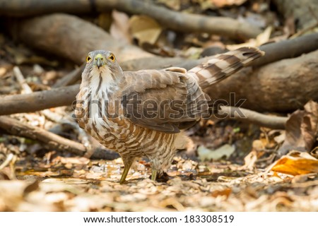Crested Goshawk (Accipiter trivirgatus) stair directly at us in nature - stock photo