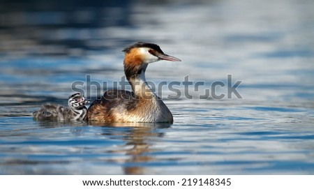 Crested grebe duck, podiceps cristatus, and baby floating on water lake