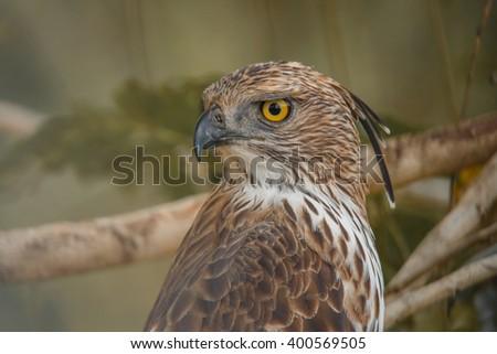 Crested hawk eagle close up - stock photo