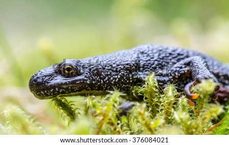 crested newt  - stock photo