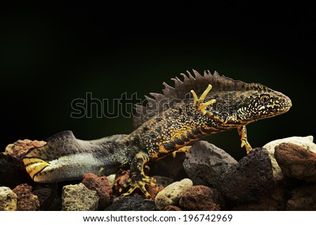 crested newt an amphibian under water a beautiful coloured animal and endangered species lives in small fresh water ponds Trituris cristatus - stock photo
