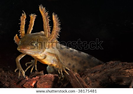 crested newt larva showing its gills - stock photo