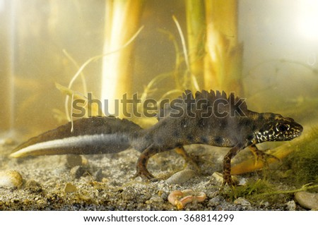 crested newt Triturus cristatus dance mating courtship regional park pebbles rock Malatina Modena Emilia Romagna - stock photo