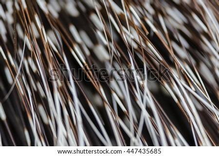 Crested porcupine (Hystrix cristata) or African porcupine Fur - stock photo