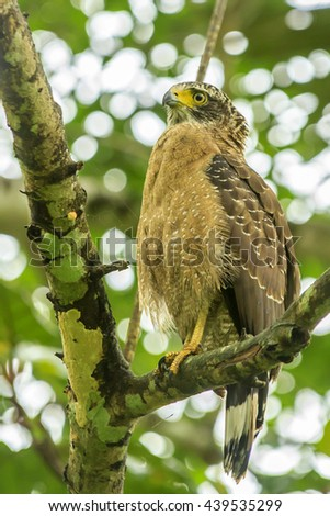 Crested Serpent Eagle - stock photo