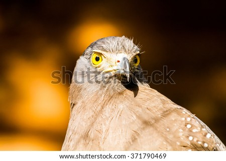 crested serpent eagle in chiangmai Thailand - stock photo