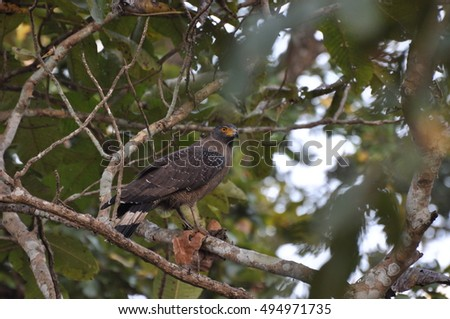 Crested Serpent Eagle in Chitwan National Park, Nepal