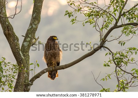 Crested serpent-eagle(Spilornis cheela) standing in nature at Taiwan - stock photo