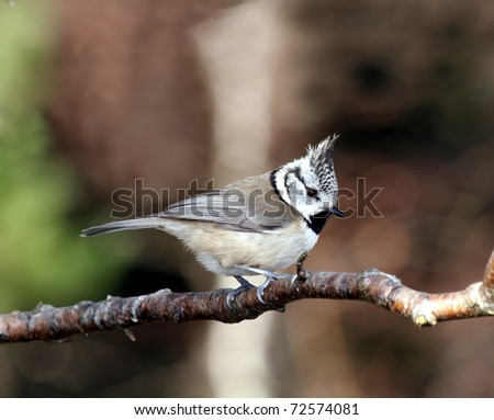 Crested Tit - stock photo