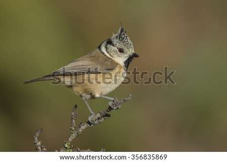Crested Tit, (European Crested Tit), perched on a branch