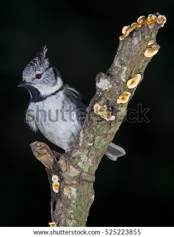 Crested tit (Parus cristatus) on a branch