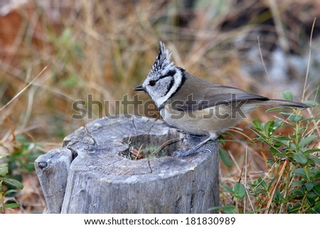 Crested Tit Parus cristatus passerine bird feeders in winter food paride search pontresina Swiss Engadine National Park - stock photo