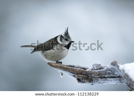 Crested tit perching on snow covered branch, closeup - stock photo